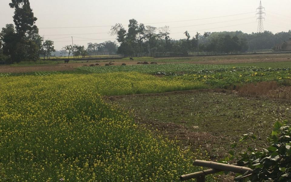 Mustard field, Sylhet, Bangladesh. February 2020